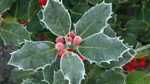 christmas plants christmas plants walldevil