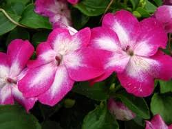 impatiens flowers organic impatiens flowers home gardening advice from master