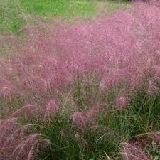 muhly grass seeds pink muhly ornamental grass seed
