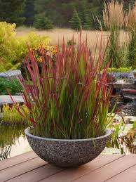 rubra this japanese blood grass begins a lush shade of green
