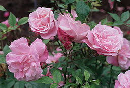 garden roses are heirloom heritage or antique roses