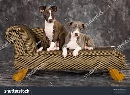 Italian Greyhound Puppies Lying On Stock Photo - Lying sofa 2
