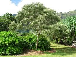hawaii native plants koa tree acacia koa tree endangeredhawaiianspecies