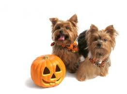 Halloween Costumes Yorkies Diy Pet Halloween Costumes Petsafe Articles