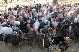 talking turkey how to choose your thanksgiving bird bay area