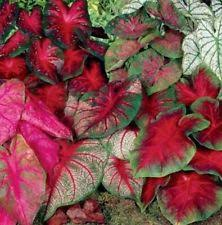 caladium flowers trees u0026 plants ebay