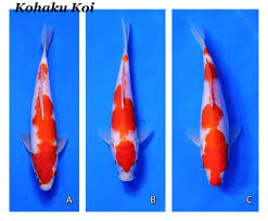 Different Koi Fish Meanings Koi Fish And It S Meaning Symbolism And Variety
