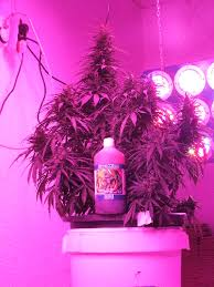 growing autoflower with led lights super stinky autoflower under fero led growers guide to cannabis