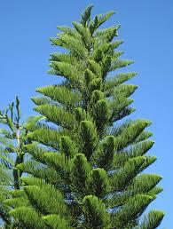 araucaria heterophylla norfolk island pine trees sanibel island