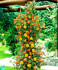 buy duo climbing rose u0027sundown u0027 bakker com
