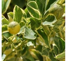 buy ornamental orange variegated at cheap price india s