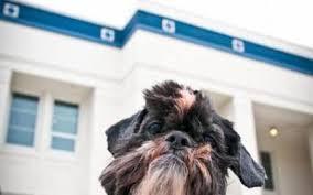 affenpinscher rescue seattle pet portrait photography
