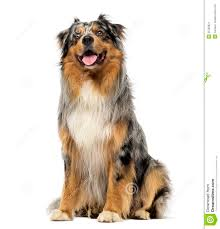 3 4 australian shepherd 1 4 blue heeler australian shepherd blue merle sitting panting and looking up