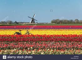 netherlands sint maartensbrug flowering tulip fields turning