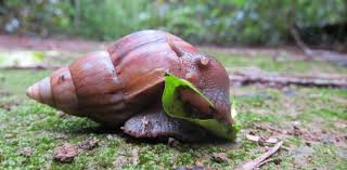 Types Of Garden Snails Afraid Of The Giant African Land Snail Perhaps We Shouldn U0027t Be