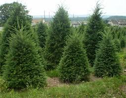 douglas fir christmas tree varieties of fir and spruce choose and cut your pennsylvania