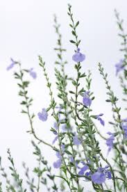 Salvia Flower Salvia Flowers