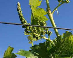 free grape growing tips and help to grow your own grapes who