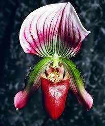 slipper flower paphiopedilum slipper orchid