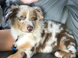 5 month old mini australian shepherd australian shepherd puppies and dogs for sale in usa