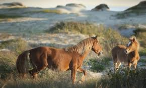 North Carolina wild animals images See the beauty of wild horses on the coast jpg