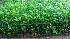 Teh Tehan jual pohon teh tehan murah jual bibit pohon teh tehan