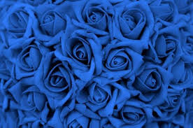 blue roses how to grow blue roses 7 steps onehowto