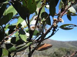montana native plant society australian plants society tasmania inc flora page 3