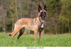 belgian sheepdog brown belgian shepherd dog europe stock photos u0026 belgian shepherd dog