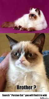 Persian Cat Meme - brother persian cat by recyclebin meme center