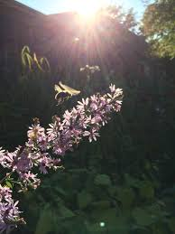 native plants chicago native pollinator garden basics for the chicago region west cook