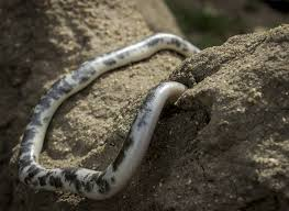 Plains Blind Snake The Snake That Made A Surprise Appearance Africa Geographic