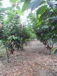 from tree to bean the cacao harvest