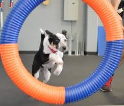 ball is life u201d zoom room dog training