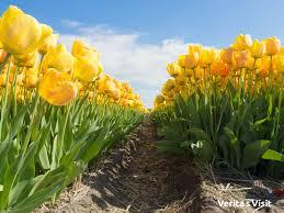 easter break in the tulip fields verita u0027s visit