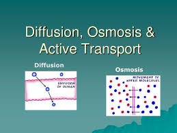 ppt diffusion osmosis u0026amp active transport powerpoint