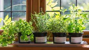 Grow Herbs Indoors by 5 Useful Tips For Growing Fresh Herbs On Your Windowsill