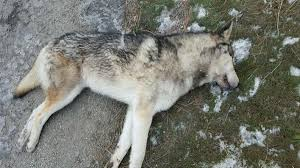 road killed canine was not wolf officials say the
