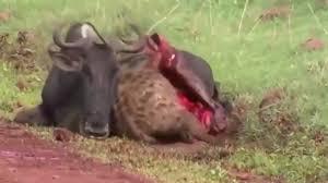 vidio film ular anaconda pertarungan hewan yang tertangkap kamera buaya ular anaconda dan