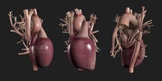 3d Human Anatomy 3d Human Heart Model Turbosquid 1163898