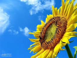 foto wallpaper bunga matahari trololo blogg bunga wallpaper