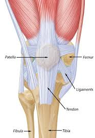 Picture Of Human Knee Muscles Anatomy Of Patella Bone And Spine