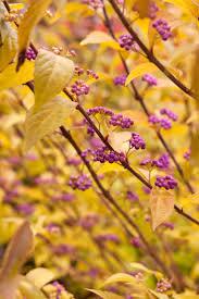 berri native plants 63 best shrubs images on pinterest shrubs garden plants and