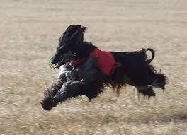 afghan hound saddle afgan hound purebred ράτσες