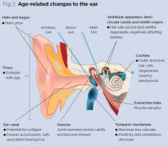 Anatomy Behind The Ear Anatomy And Physiology Of Ageing 6 The Eyes And Ears Practice