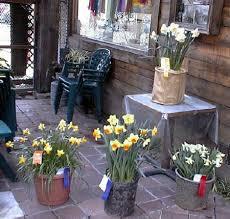 growing daffodils in pots american daffodil society