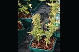 Recovering Cannabis Plants From High by 10 Tips For Auto Flowering Pot Plants High Times