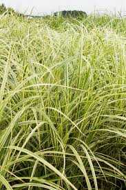 variegated japanese silver grass monrovia variegated japanese