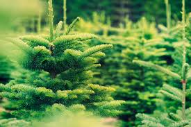 fresh cut christmas trees a traditional way to enjoy nature
