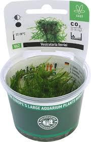vesicularia ferriei weeping moss plant it in vitro pro shrimp uk